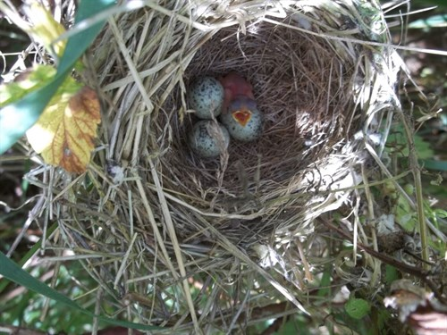 Whitethroat Nest And Fledgling 2013